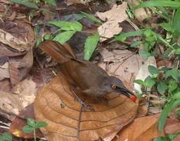 trembleur brun, oiseau, rivière quiock, route mamelles, guadeloupe