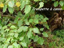 trompette  canon, arbuste, soufrire, guadeloupe