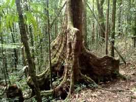 gommier, arbre foret humide, rivière quiock, route mamelles, guadeloupe