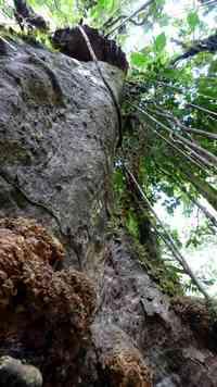 arbre, rivière quiock, route mamelles, guadeloupe