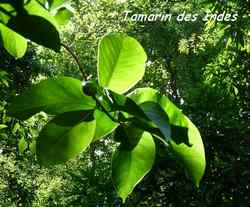 balade rivière plessis, arbuste, basse terre, guadeloupe, antilles