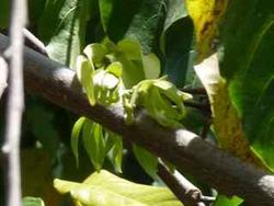 ylang ylang, fleur Habitation Joséphine