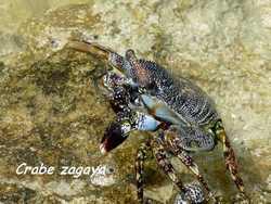 crabe zagaya, pointe des chateaux, guadeloupe